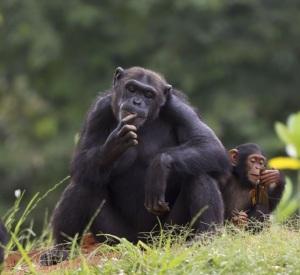 Chimp and baby - 722x663 - 15412407_m