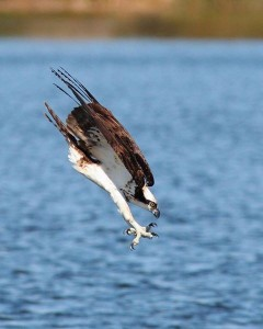 Osprey diving for a fish