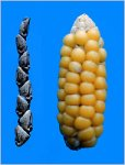 Corn - early and modern
