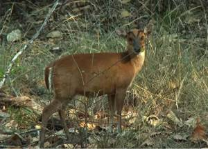 Mountjack deer